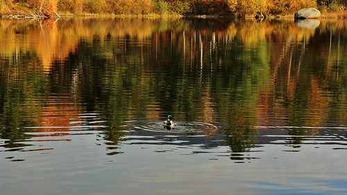 new lake fish reflection male fall clouds duck pond october estate oct nh hampshire foliage grooming mallard ripples 2014