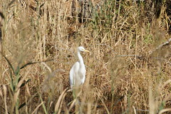 wetland, animal, prairie, fauna, natural environment, heron, bird, wildlife,