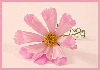 Pink Cosmo Sea Shell - Macro