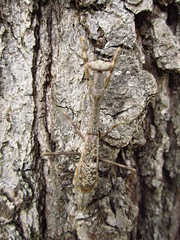 Species Stagmomantis carolina - Carolina Mantis #5