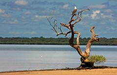 Rainbow Beach Eagle