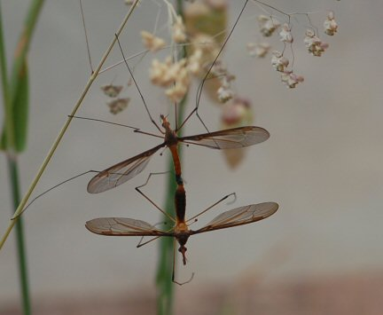 Craneflies mating