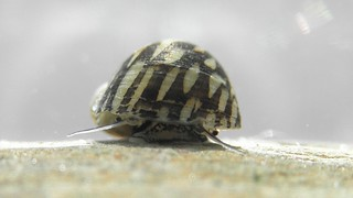 Theodoxus fluviatilis 02