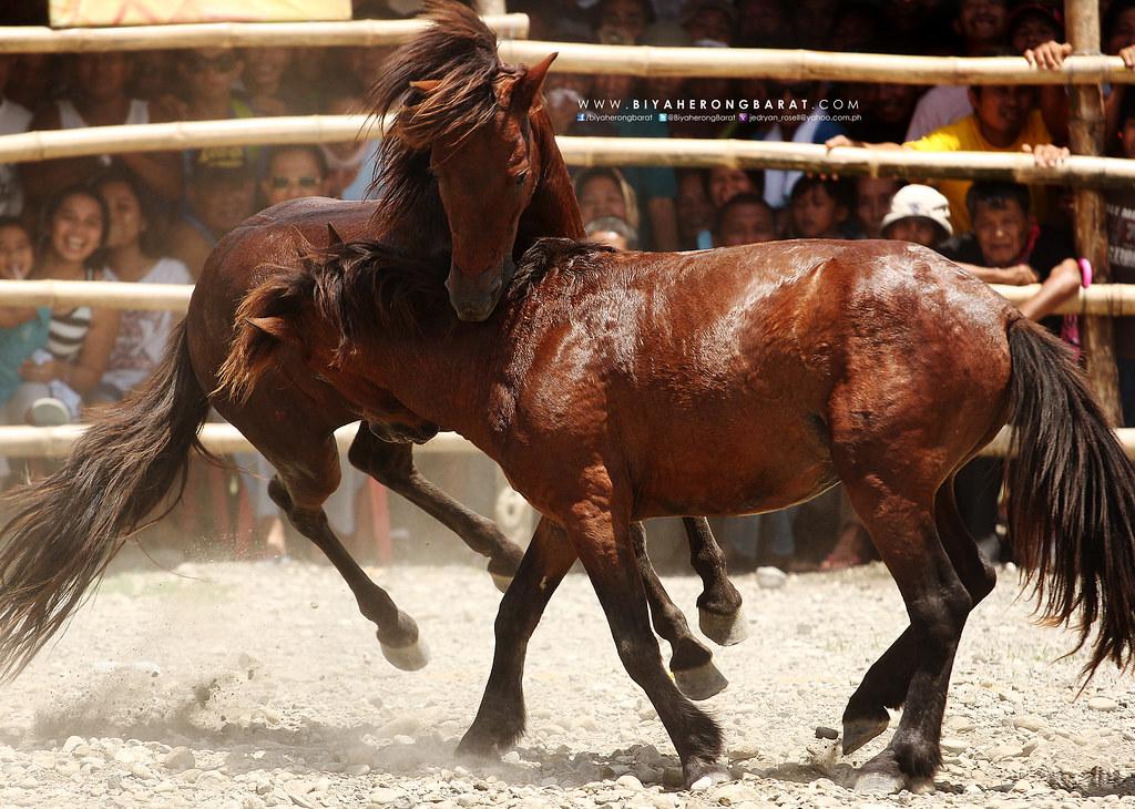 Glan Sarangani horse fight in Mindanao centennial celebration 100