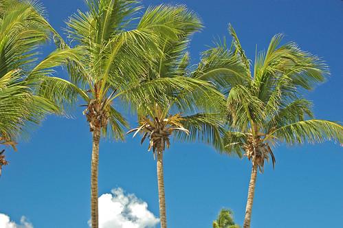 Cocos nucifera (coconut palms) (Eleuthera Island, Bahamas) 1