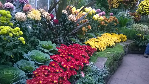 Chrysanthemum Bed