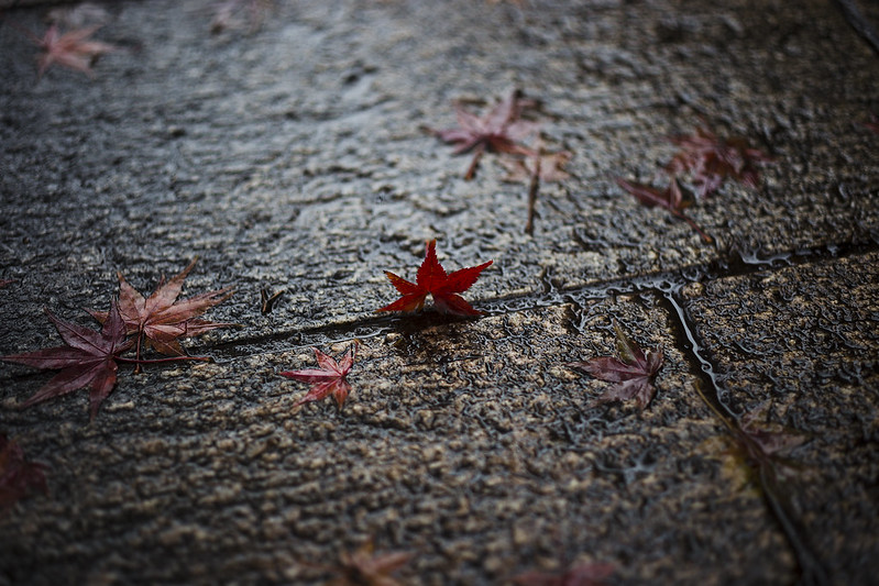 Autumn leaves in Kanazawa.