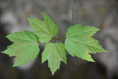 new leaves of red maple