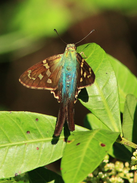 Long-tailed Skipper 20141028