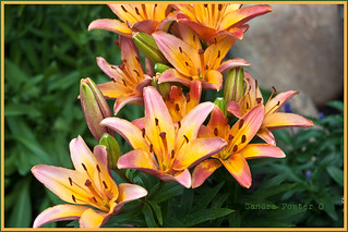 Beautiful lilies in the garden.