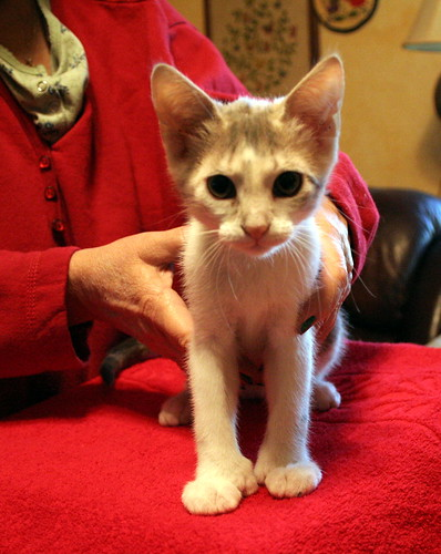 Fanny the Hemingingway Cat