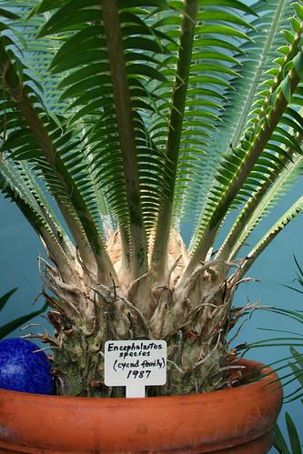 18_encephalartos
