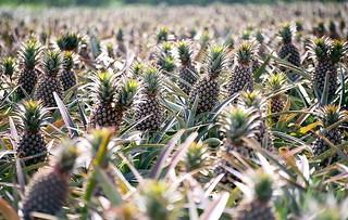 Plantação de Abacaxi