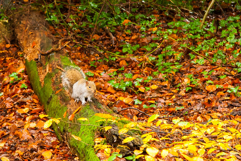 Squirrel, Longmeadow Lane Woods