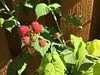 Raspberries! June 2016