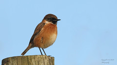HolderMale Stonechat