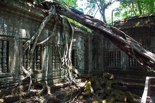 tree-root-cambodia