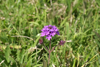 Verbena rigida flowerhead4