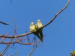 Monk Parakeets (Myiopsitta monachus)