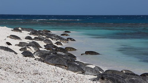 Green Sea Turtles Basking