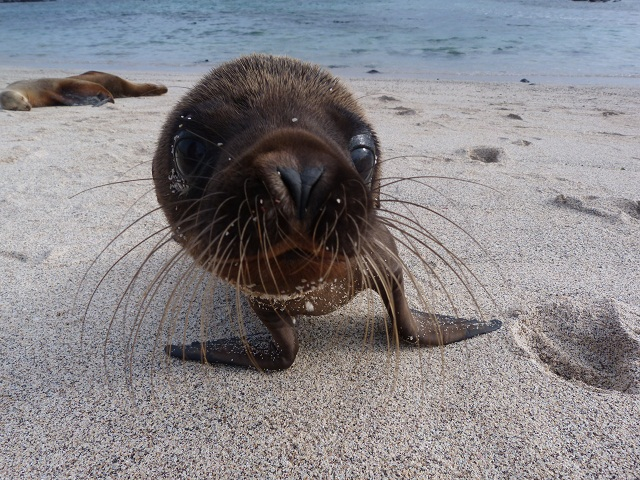 Cría de león marino (Lobería, San Cristóbal, Galápagos)