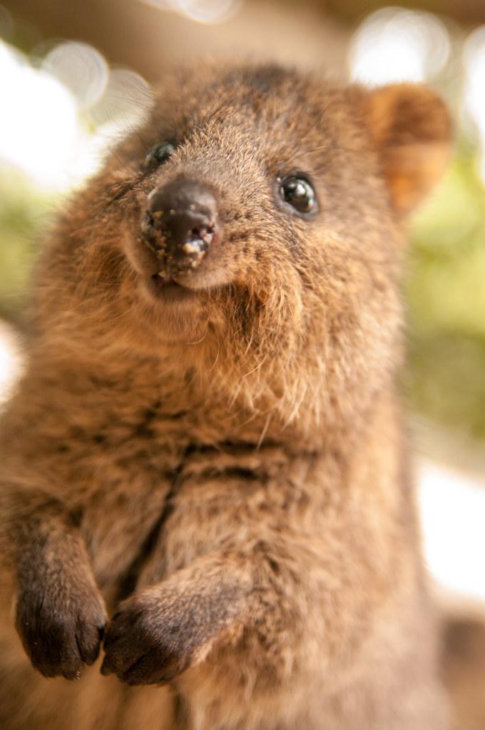 World happiest animal, Quokka