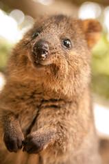 koala(0.0), nose(1.0), animal(1.0), wombat(1.0), snout(1.0), mammal(1.0), fauna(1.0), close-up(1.0), whiskers(1.0), wildlife(1.0),