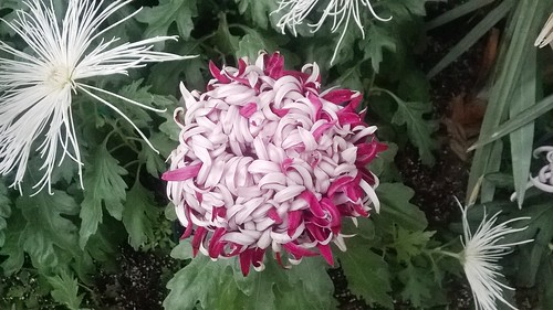 Chrysanthemum Purple Pink