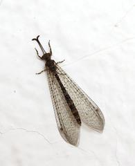 Antlion (Myrmeleontidae)