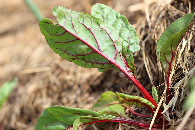 Little red rainbow chard