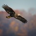 Immature Bald Eagle by Mike Bader