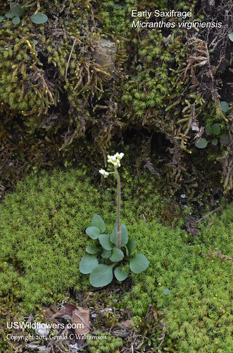 Early Saxifrage, Virginia Saxifrage, Everlasting, Lungwort, Sweet Wilson - Micranthes virginiensis