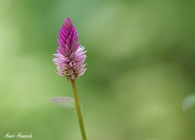 Amir H zah2 - Flower DSC08998