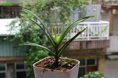 孵出黃斑椿象的盆栽,虎紋格距蘭(椿象在右上角)。(圖片攝影:李鍾旻)