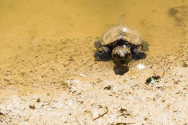 Baby Turtle In Wild Pond 2 Flickr - Photo Sharing!