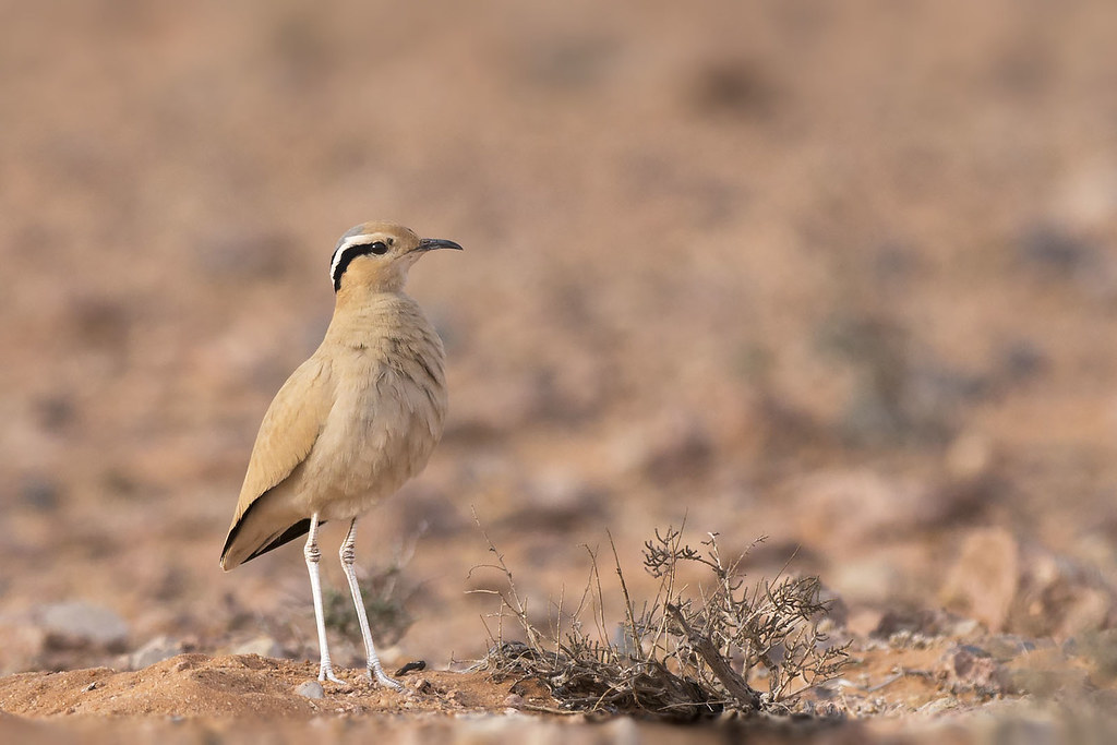 Courvite isabelle Cursorius cursor - Cream-colored Courser