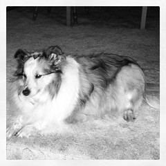 Gracie, our sweet peanut butter princess #ilovemydogs #sheltie #shetlandsheepdog #dogstagram
