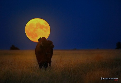 moon nature southdakota blackhills canon buffalo lunareclipse wildlifephotography nightmoon kadeksusanto