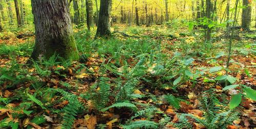 autumn trees plants nature forest pennsylvania creativecommons vegetation ferns deciduous berkscounty leaflitter undergrowth polystichum understory temperatedeciduousforest williampennstateforest ruthzimmermannaturalarea