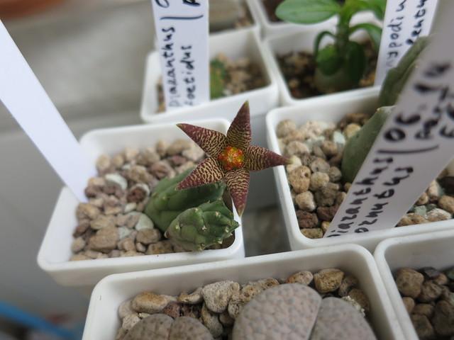 Piaranthus cornutus