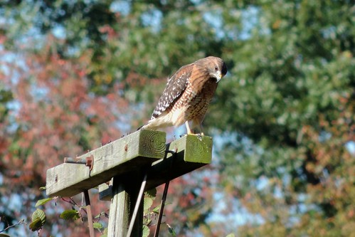 #94 Red-shouldered Hawk (Buteo lineatus)