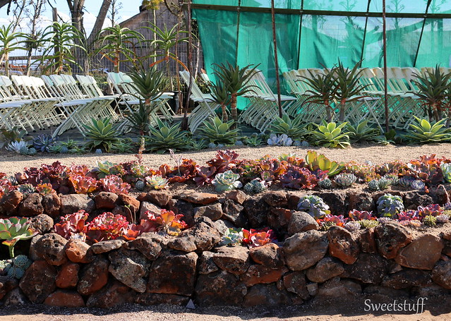 ECHEVERIA EXTRAVAGANZA BY BELL & FLOURISH WITH ROSS LANDSCAPE CONSTRUCTION 2