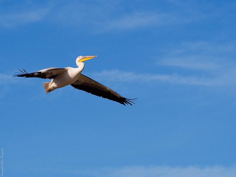 Grands oiseaux 15404770307_948a47be19_c