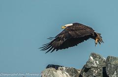 IMG_9283 Bald Eagle at Wallace Wharf