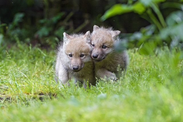 Two wolf pups together