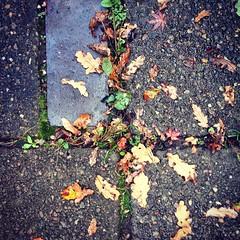 In the garden - little oak leaves #Autumn #garden #nothingisordinary #dslooking #ABMautumn