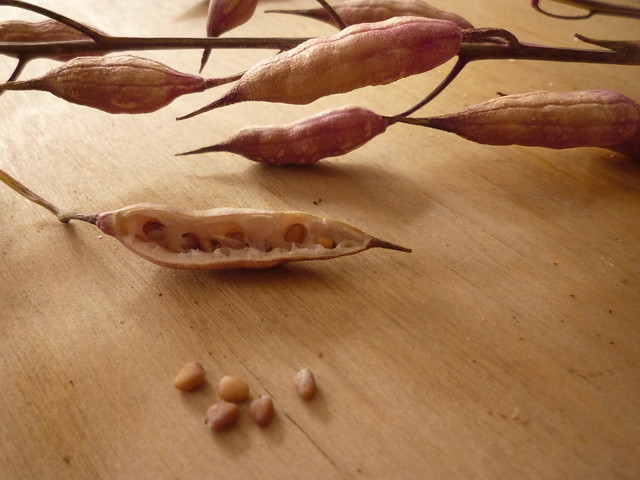 Semillas de rabanito
