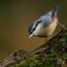 Nuthatch by Trevsbirds