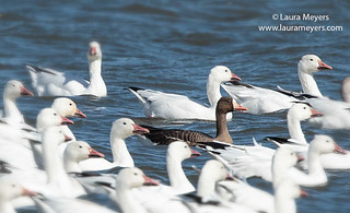 Greater White-fronted Goose among Snow Geese