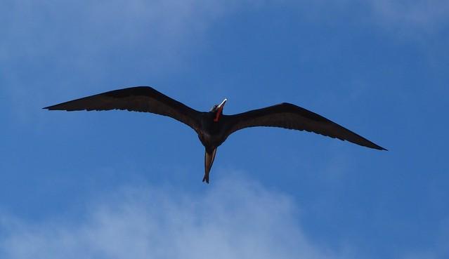 Fragata volando en Galápagos